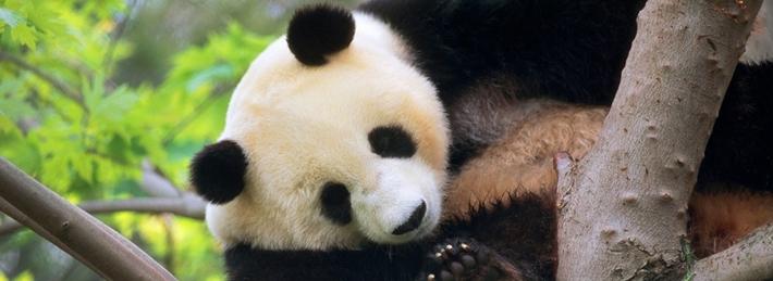 Libérez-le-panda
